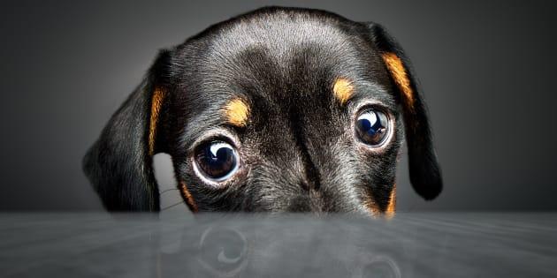 Les chiens savent être manipulateurs pour avoir ce qu'ils veulent
