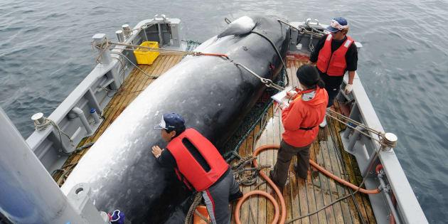 Une baleine est déchargée au port de Kushiro, en septembre 2013, pour des raisons scientifiques.
