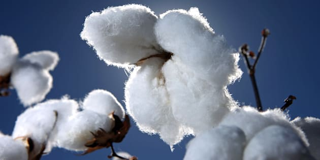 Is this cotton GM? You'll never know.