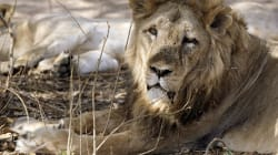 21 Lions Have Died In Gujarat's Gir Forest In 21