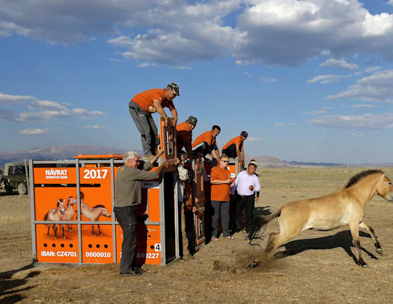 Wild horses return to the steppes