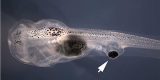 On a implanté des yeux sur la queue de têtards qui ont réussi à se raccorder à la moelle épinière.