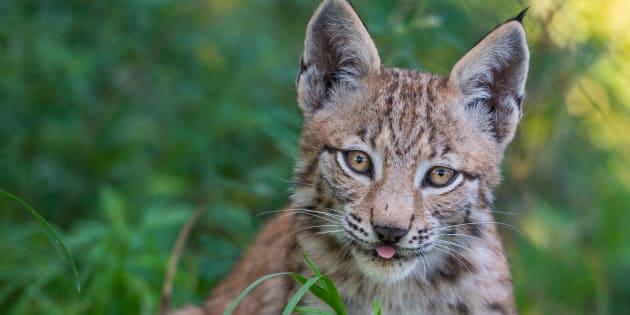 Photo d'illustration d'un lynx