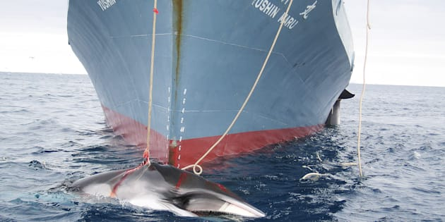 Japon: 122 baleines enceintes tuées au cours de l'expédition dans l'Antarctique.