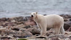 There Are Actually Too Many Polar Bears In Nunavut: Territorial Draft