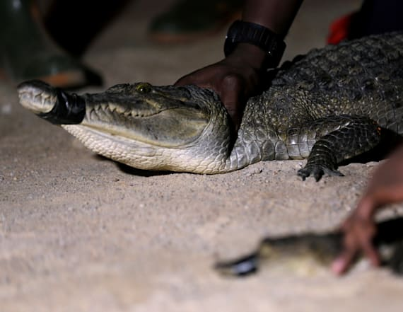 As the population booms crocodile run-ins increase