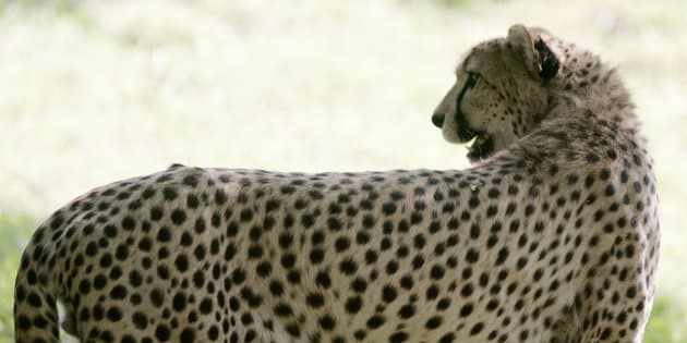 Il y a de moins en moins de guépards dans le monde.