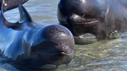 Les Îles Féroé demandent à leurs habitants d'arrêter de manger du dauphin (pour leur