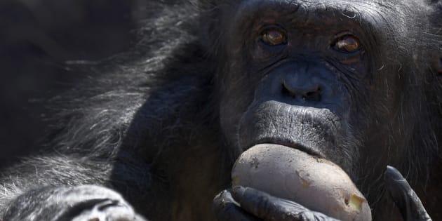 Un singe mange une patate chaude au Zoo de Rome.
