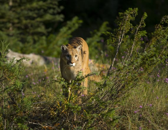 Cougar kills mountain biker, mauls another