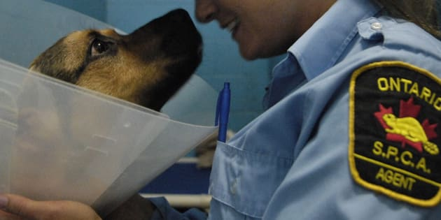 An OSPCA agent plays with AK, an eight-month old German Shepherd/Rottweiler mix, in his pen at the Windsor/ Essex County Humane Society on May 17, 2007.