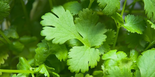 Your hated of coriander could very well be genetic.
