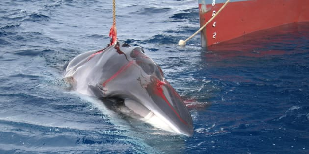 L'Islande arrête de chasser cette baleine car ce n'est plus rentable (ici, en 2018, unebaleinede Minke est harponnée par un navire japonais)