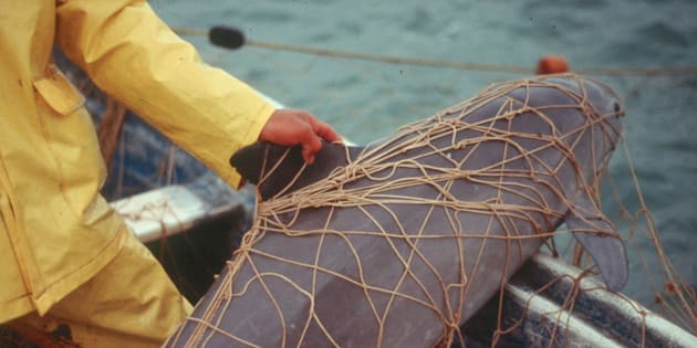 """A critically endangered vaquita entangled in a gill net.In recent years, the hazards facing vaquitas have only intensified, prompting a """"catastrophic decline"""" of the species."""
