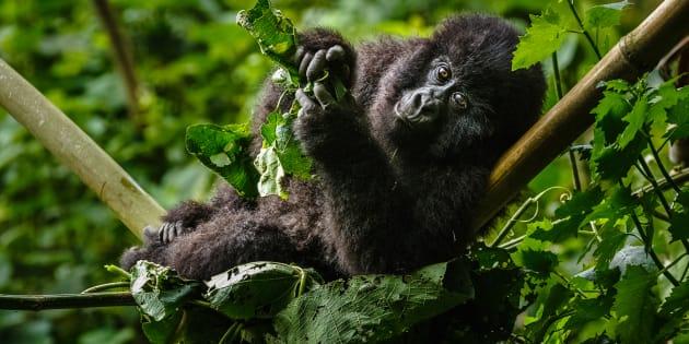 Gorilla di montagna nel Parco Nazionale di Virunga (Repubblica Democratica del Congo)