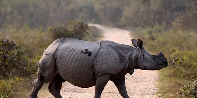 An Indian one horned rhino seen crossing a road inside the Kaziranga National Park, 250 kms east of Guwahati on February 13, 2017 in Assam, India.