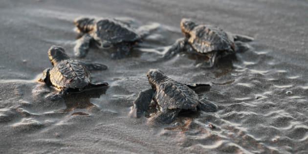 A cause du réchauffement climatique, ces bébés tortues sont à 99% des femelles