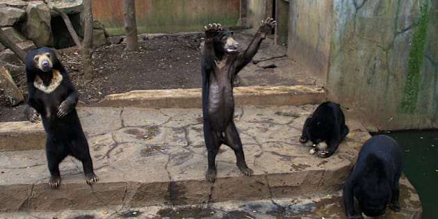 Captive sun bears appear to begfor food from visitors at a zoo in Bandung, Indonesia, on Jan. 19.