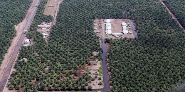 Une plantation d'huile de palme en Indonésie.