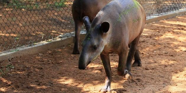 Tapires en el zoo de Zulia, en Maracaibo.