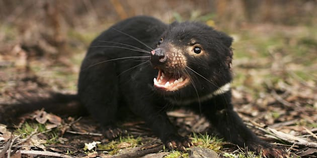 Tasmanian devils are endangered due to acancer that has been sweeping through the wildpopulation, but a newly discovered colony offers hope the species can be saved.