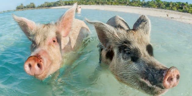 """Aux Bahamas, les cochons aiment se baigner dans les eaux chaudes d'Exumas. Une plage s'appelle même """"la plage aux cochons""""."""