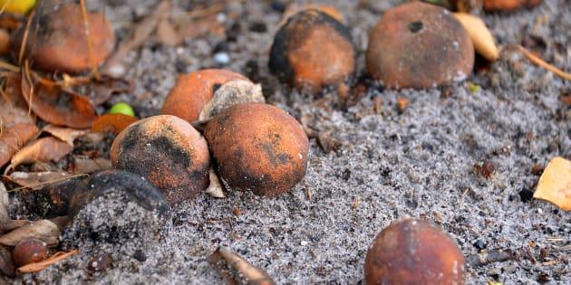 Naranjas en estado de putrefacción.