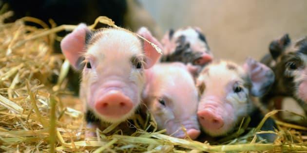 Cerditos recién nacidos.