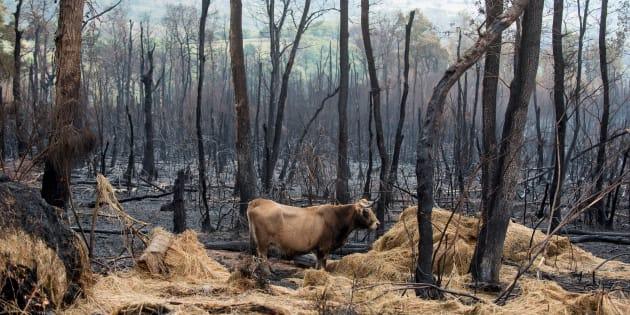 Una vaca camina sobre la superficie calcinada por el incendio forestal de Santirso (Maceda).