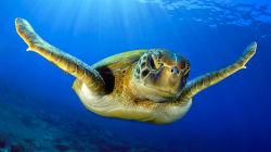En estos rincones del país luchan para salvar a las tortugas marinas de la