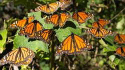 Lo que el gobierno mexicano calla sobre la mariposa monarca y la vaquita