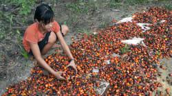 Colgate, Nestlé, Unilever, accusés d'utiliser de l'huile de palme produite par des enfants