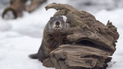 Canada's Famous Groundhogs Can't Decide On Spring's