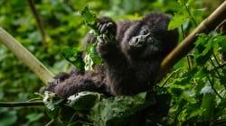 In morte di Rachel nel Parco dei gorilla di