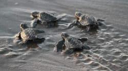 À cause du réchauffement climatique, ces bébés tortues sont à 99% des