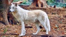 À cinq jours du Salon de l'agriculture, le gouvernement annonce qu'au moins 40 loups seront abattus en France en