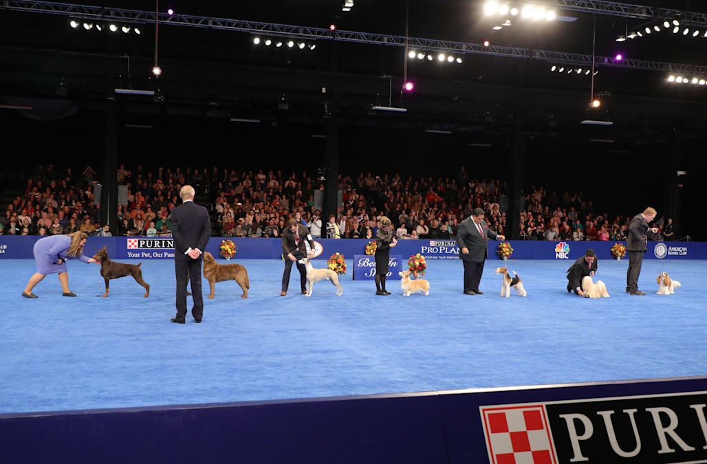 National Dog Show Brussels Griffon >> Whiskey the Whippet wins Best in Show at 17th annual National Dog Show - AOL News