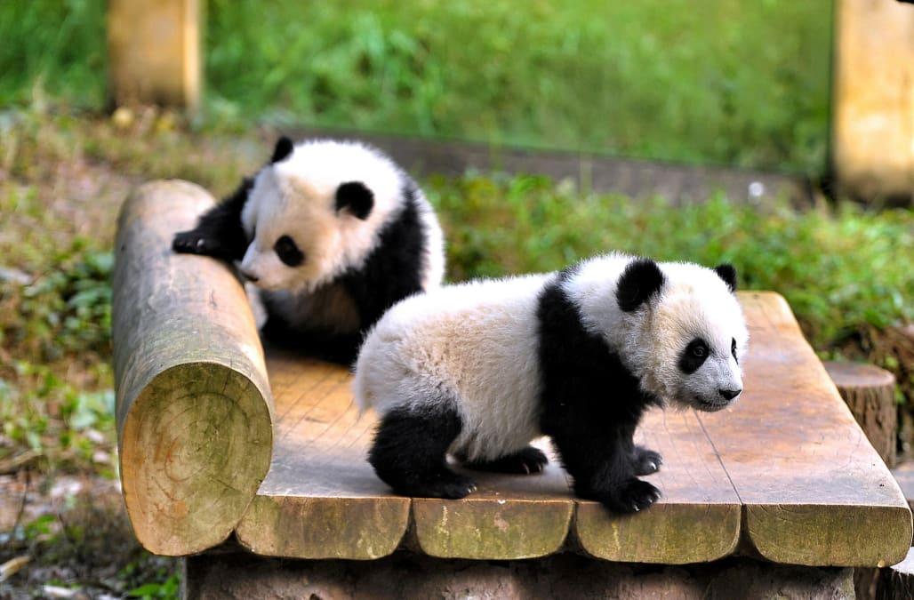 twin giant panda cubs make their zoo debut aol news