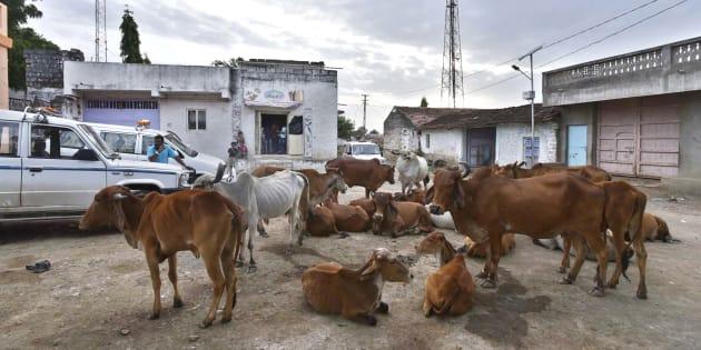 Herd of cow seen resting at Mota Samadhiyala village  in Una.