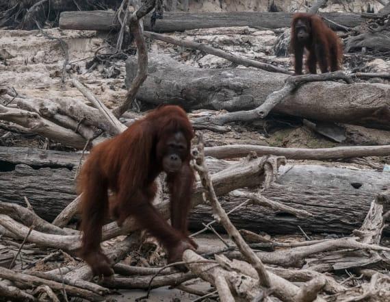 Tragic photos show orangutans in charred forest