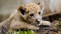 Un lionceau découvert dans une Lamborghini sur les