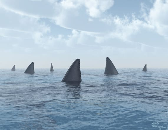 Great white sharks in 'crazy' numbers off Carolina