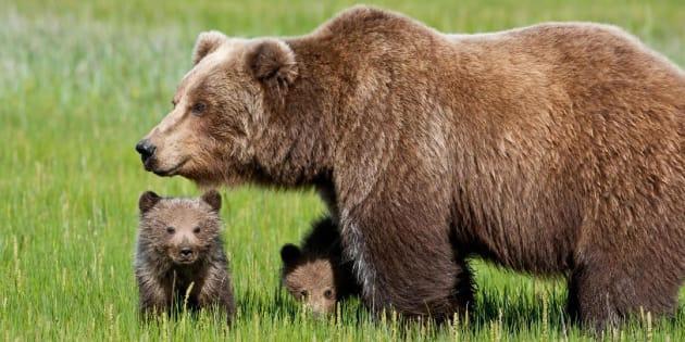 Risultati immagini per orsa kj2