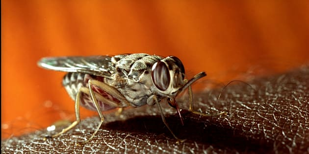 The tsetse fly, which feasts on blood, transmits sleeping sickness to humans.