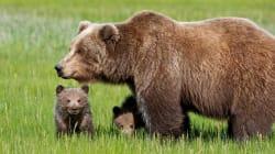 Aveva ferito un uomo: abbattuta l'orsa KJ2 in
