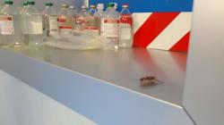 MALSANITÀ - Dopo le formiche, in ospedale a Napoli anche scarafaggi e zanzare (di L.