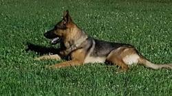Kaos, cane-eroe di Amatrice, è morto per avvelenamento da metaldeide, prodotto che uccide le