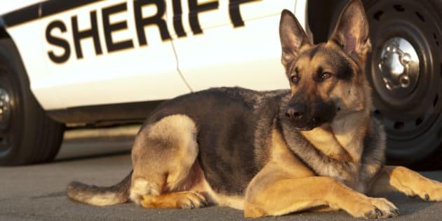 A county sheriff police dog.