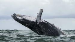 Dans leurs chants, les baleines à bosse aussi suivent la
