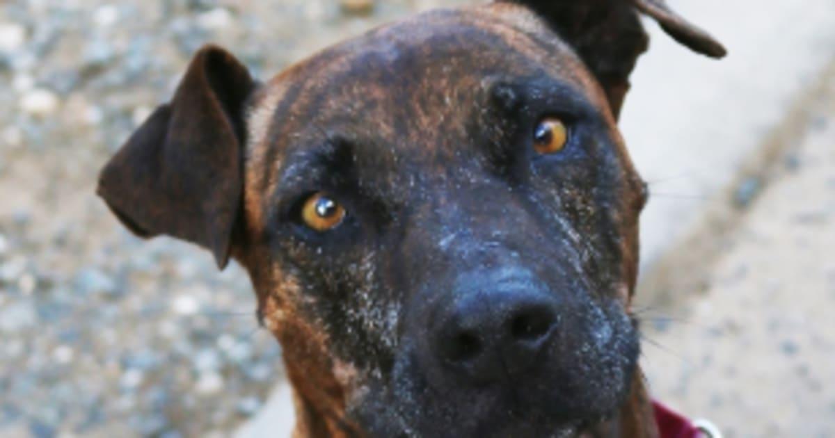 Perché Staffys è il cane meno popolare per l'adozione-9739